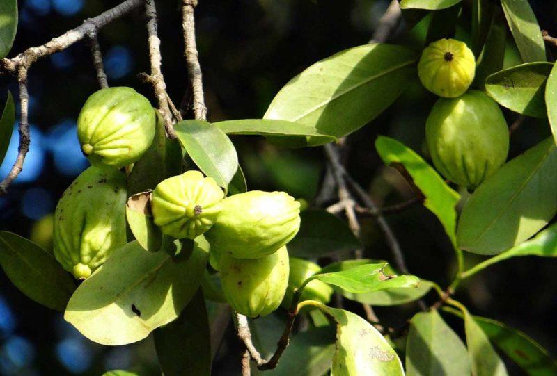 Garcinia Cambogia Guide: umstrittener Fatburner im Check