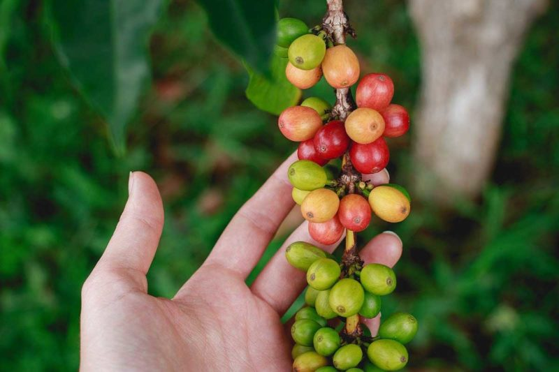 Grüner Kaffee Guide: Wie wirksam ist der Fatburner?