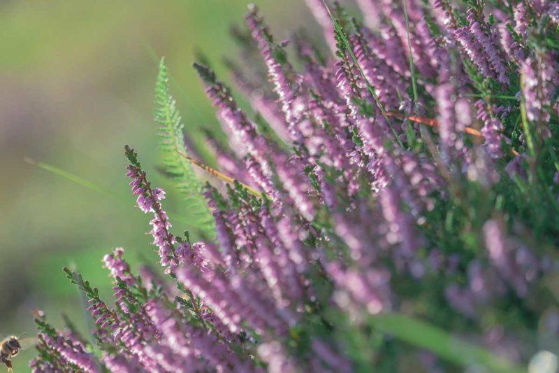 Heideblütentee Guide: Kann die gesunde Wirkung überzeugen?