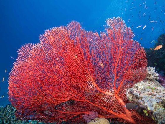sango koralle