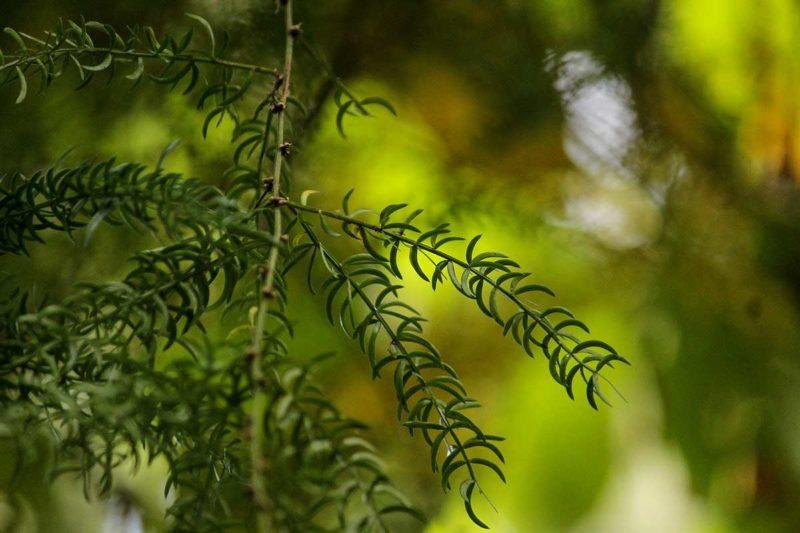 Shatavari Guide: Wirkungen der indischen Heilpflanze