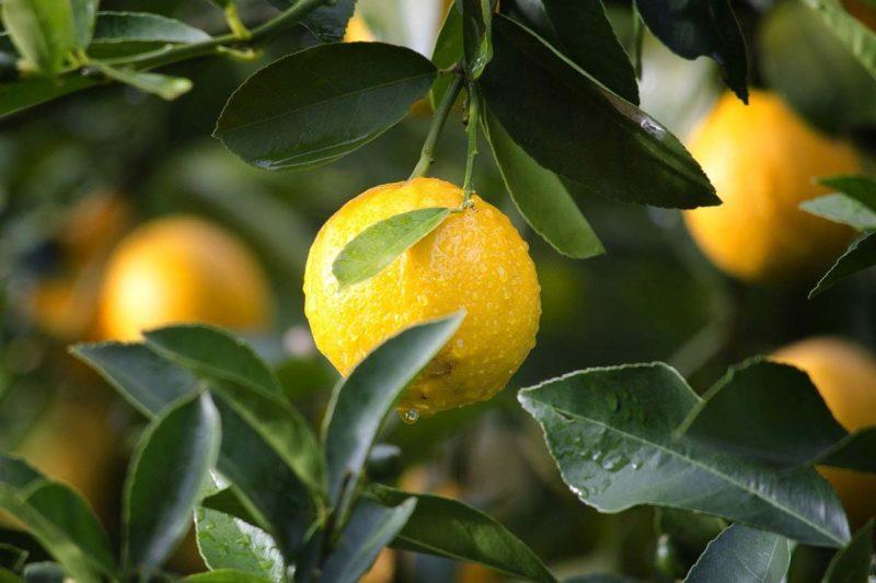 Zitronensaft Kur Guide: Anleitung, Plan und Tipps